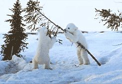 The Animal Blog — darkshores-deactivated20130421: Polar bear cubs...