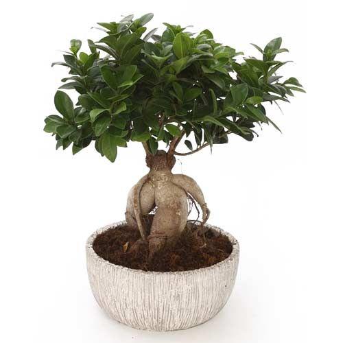 Le Ficus Ginseng Bonsai est une belle plante très facile à entretenir si vous cherchez un cadeau durable et beau à la fois