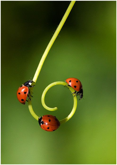 Ladybugs in a row :): Spirals, True Friends, Green Natural, Beautiful, Gardens, Ladybugs, Insects, Lady Bugs, Animal