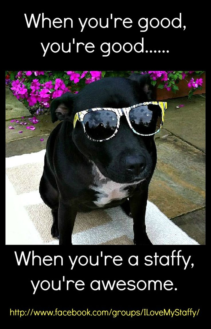 One super cool Staffy! #StaffordshireBullTerrier