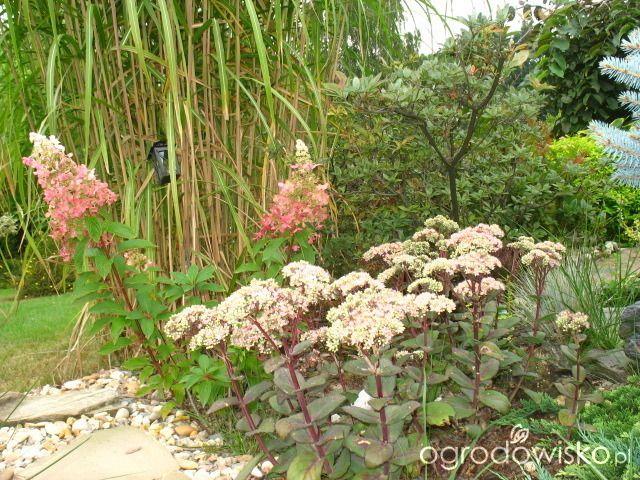 Rozchodnik okazały - Sedum spectabile - strona 7 - Forum ogrodnicze - Ogrodowisko