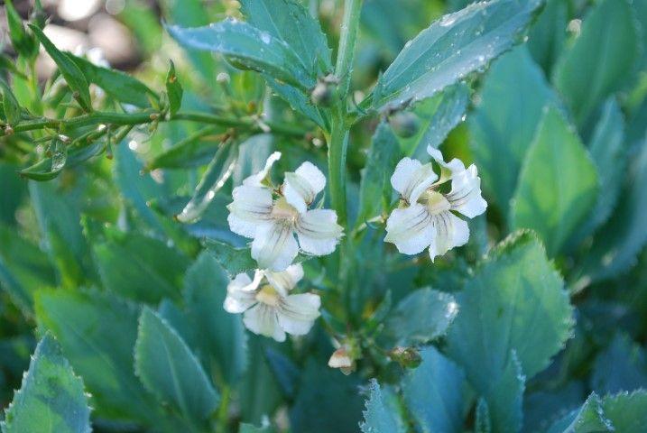 Goodenia Brightenup --- For more Australian native plants visit austraflora.com