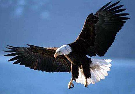 Isn't this majestic, strong, beautiful, American Bald Eagle!Beautiful Animal, Connecticut, American Eagles, Bald Eagle'S, Amazing Birds,  Haliaeetus Leucocephalus, Rivers, American Bald Eagles,  American Eagle'S