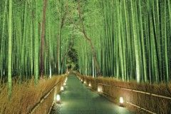 Sagano bamboo grove lit up