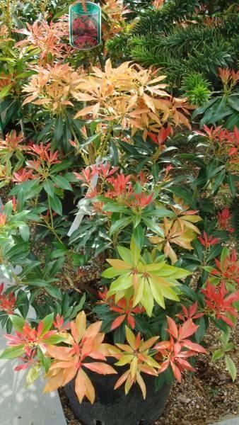 Pieris Forest Flame Matt And Vic House Garden Ideas Shade Shrubs Evergreen Plants