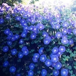 heavenly blue morning glories to cover fence/trellis/ground