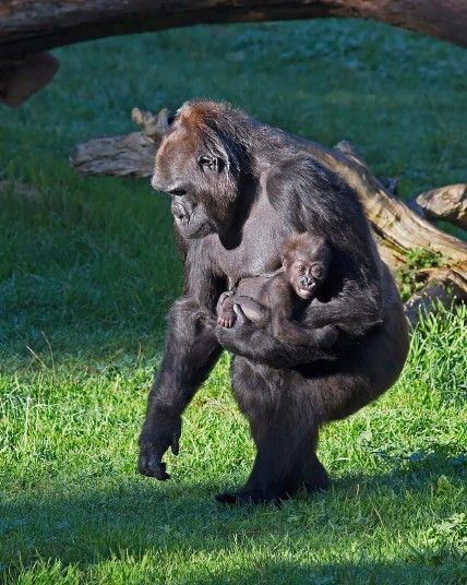 San Francisco Zoo recently welcomed a new member to their ever growing family.Though her mother Nneka is doing fine, the 5-month-old gorilla named Kabibe (or little lady in Swahili) is being carefully cared for by her grandmother named Bawang who has assumed the role of adoptive mother for the infant. The 33-year-old matriarch of the family did the same thing for her big brother Hasani, who is now five-years-old. A statement released by the zoo says, Picture: Pacifica Arts, Inc.