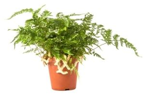 Botanical Name: Davallia fejeensis    Although most types of ferns require high humidity, Rabbit Foot Fern is much easier to please as indoor ferns. House plants will thrive with indirect light and average room temperatures.    Elegant, lacy fronds create a lush mound of evergreen foliage. The main attraction of this plant, however, are the furry rhizomes that hang over the side of the container. These light-brown, creeping rhizomes are covered with hairs that look like a rabbit's foot. It's…