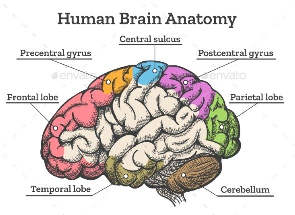 The 25 best human brain diagram ideas on pinterest diagram of human brain anatomy diagram ccuart Image collections