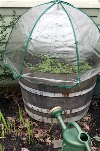 Great idea for seed starting: A mini greenhouse under a clear umbrella.