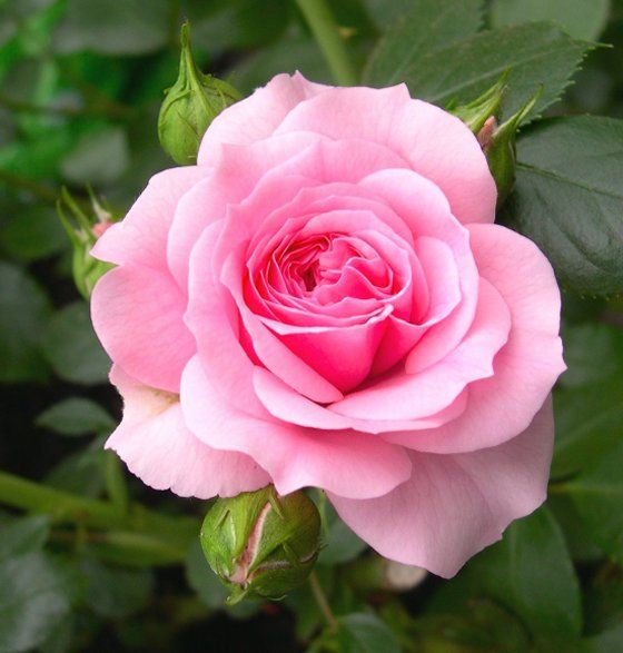 Rose (Rosa sp): The essence of roses can be mixed with these perfumes to purify the environment. It is good to remember that roses have great power. The rose is the queen of flowers. - Samael Aun Weor