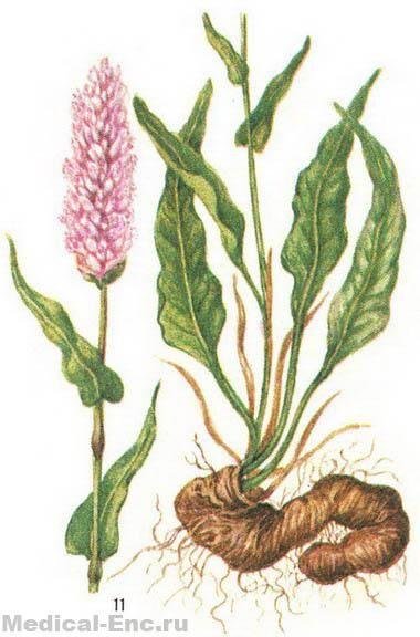 Горец змеиный ( Змеиный корень, раковые шейки )