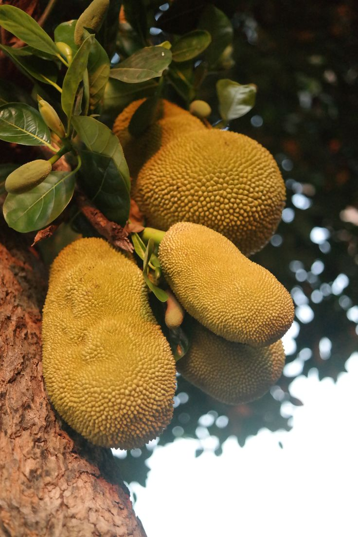Smelly fruit Durian on the tree (Smradľavé ovocie Durian na strome), Ayutthaya