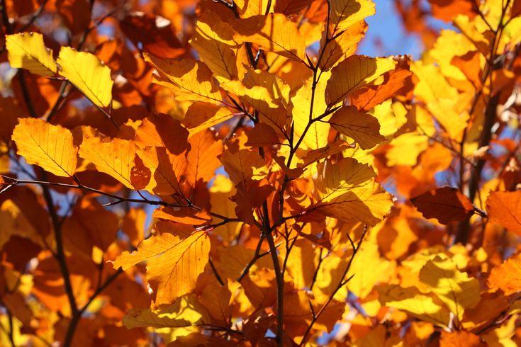 foglie di castagno baciate dal sole autunnale