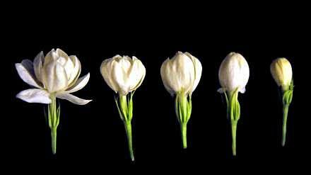 jasmine-flower1