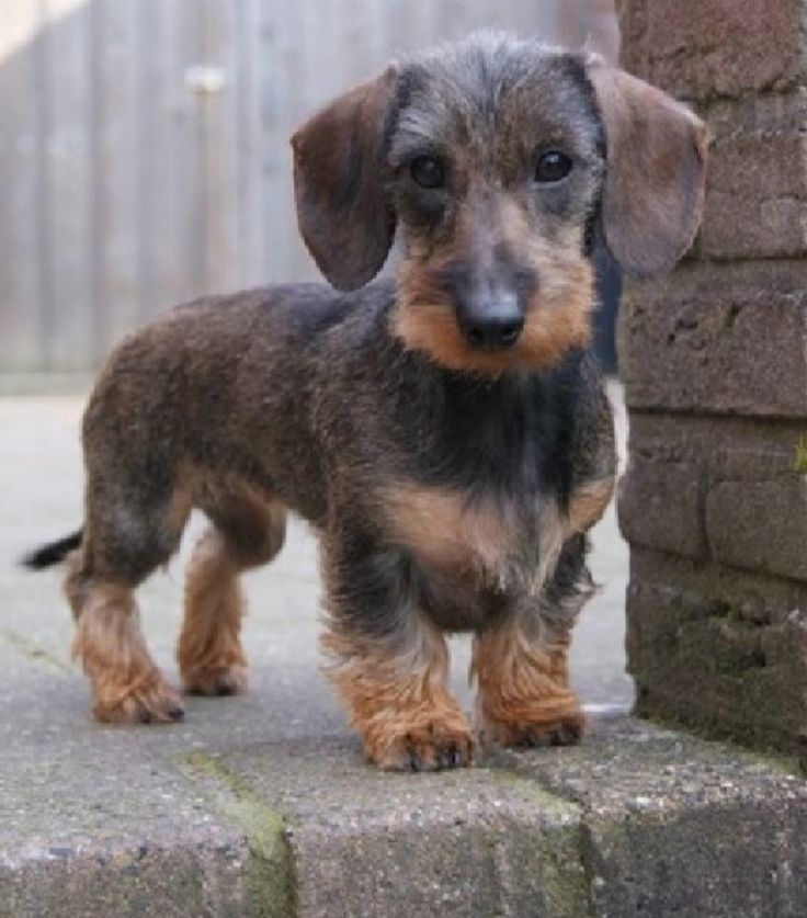 Sweet wire haired Doxie