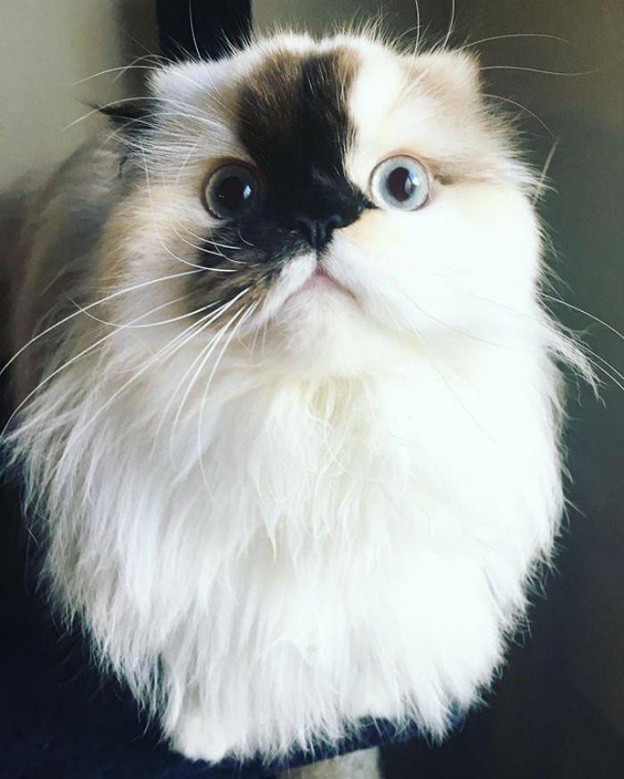 Smudge le charmant chaton himalayen au nez coloré - https://www.2tout2rien.fr/smudge-le-charmant-chaton-himalayen-au-nez-colore/