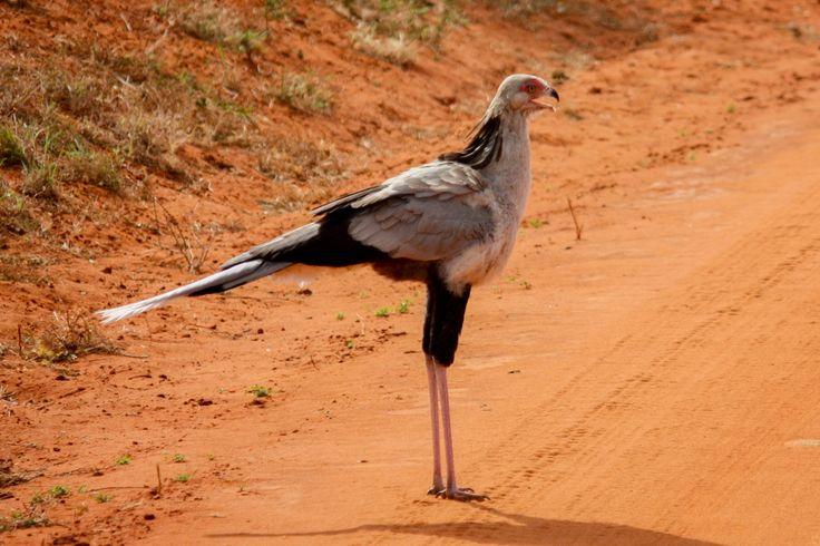 Secretary bird in Tsavo east Kenya. #birds #birdwatchers #nikonphotographer #animals #adventure #nature #savanna #kenya