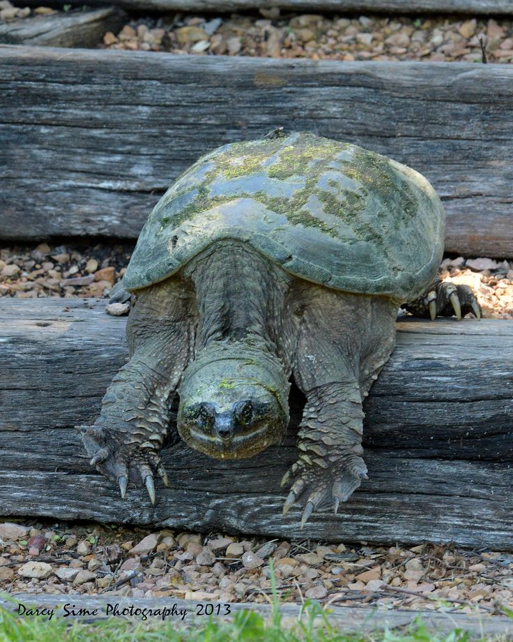 ˚Smiling Snapping Turtle