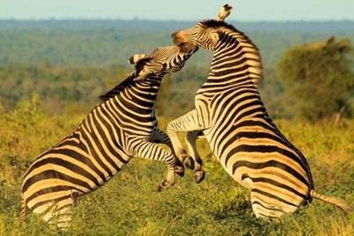 Zebra tussle, Lukimbi, South Africa