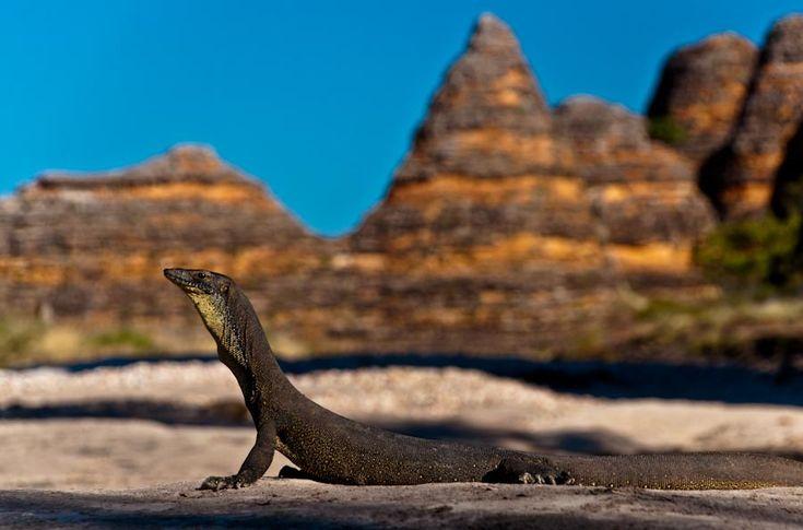 Monitor lizard in Kimberly, Western Australia.