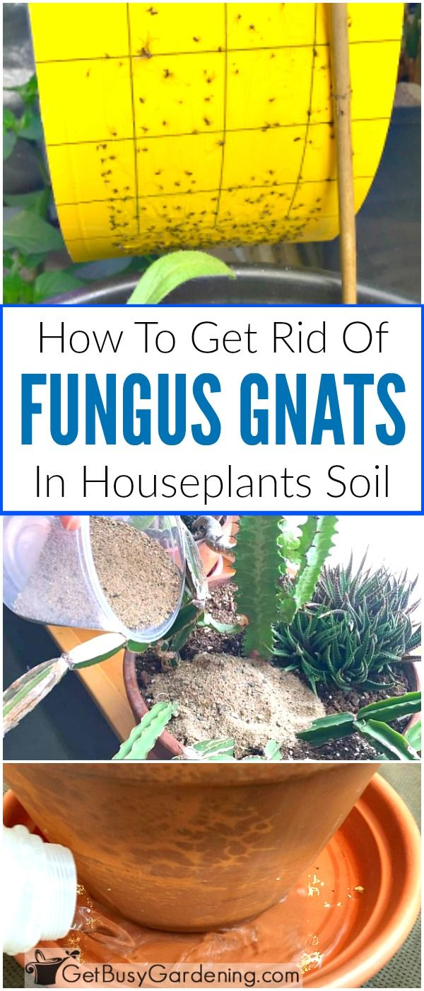 Fungus gnats are tiny black bugs in plant soil, and they are super annoying! The good news is that you can kill gnats in potted plants, and get rid of them for good. Here are easy tips for eradicating fungus gnats.