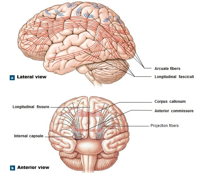 cerebrum function | cndaily |, Human Body