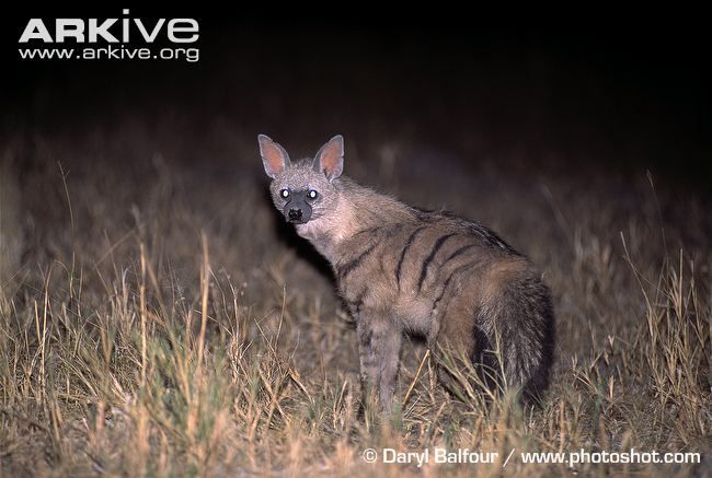 Aardwolf at night, light reflecting in tapetum lucidum