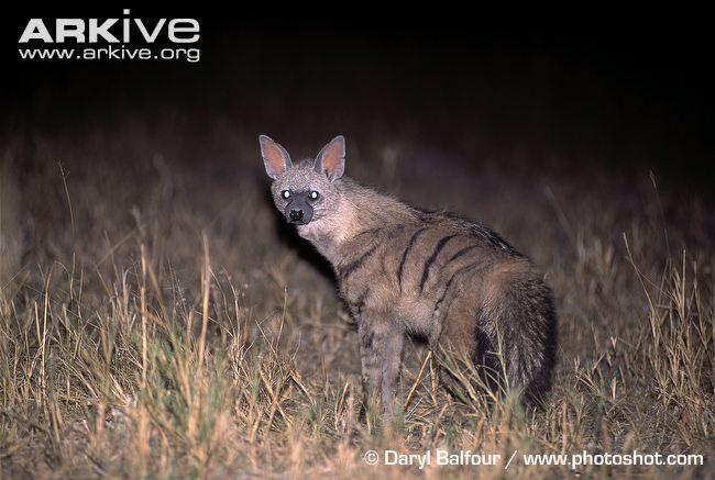 Aardwolf at night, light reflecting in tapetum lucidum