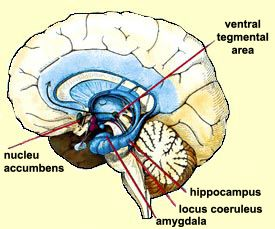 Ventral Tegmental Area (VTA) is the area that synthesizes dopamine, which then sends to nucleus accumbens. Nucelus accumbens is the pleasure center, and it is stimulated by the neurotransmitter dopamine from VTA. VTA also sends dopamine to prefrontal cortex which regulates and controls these impulses. The locus coeruleus is the area packed with norepinephrine; and when stimulated by a lack of the addictive substance, will drives the person to do anything necessary to obtain a fix.