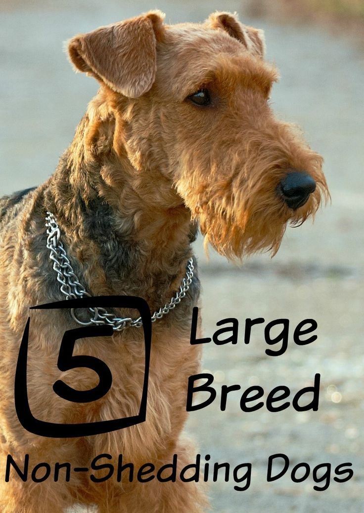 Large Dog Breeds That Don T Shed Large Dog Breeds Best Large