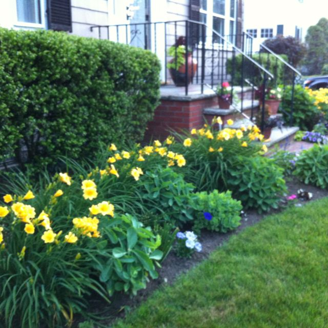 Yellow daylilies popping in the front yard. #yarden