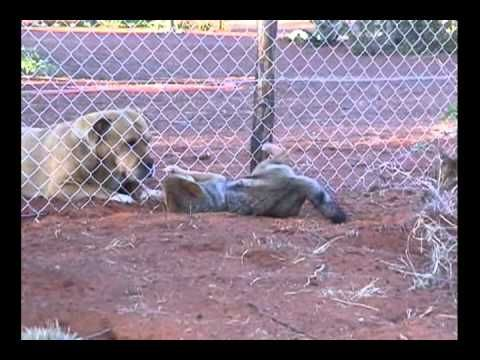 Jackals sucking up to our Boerbull dog at the Kalahari Raptor Centre.