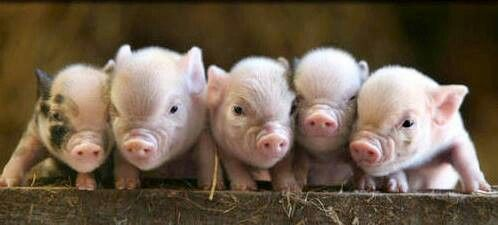 piglets in a row...