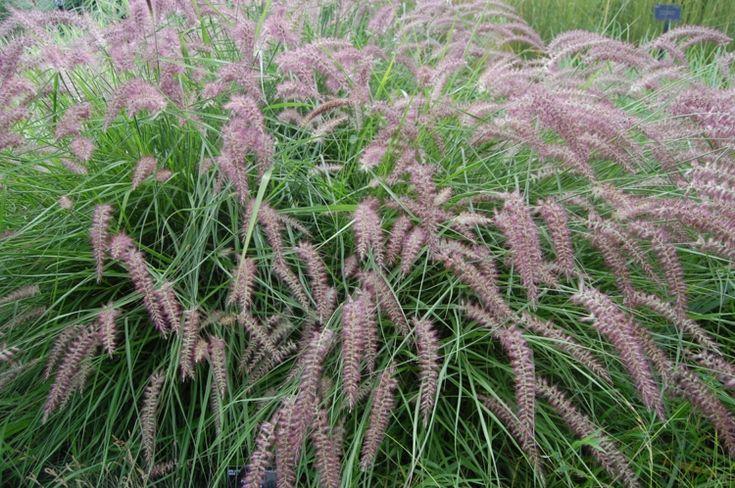 Gräser pflanzen - Das Orient-Lampenputzergras besitzt hübsche Blüten