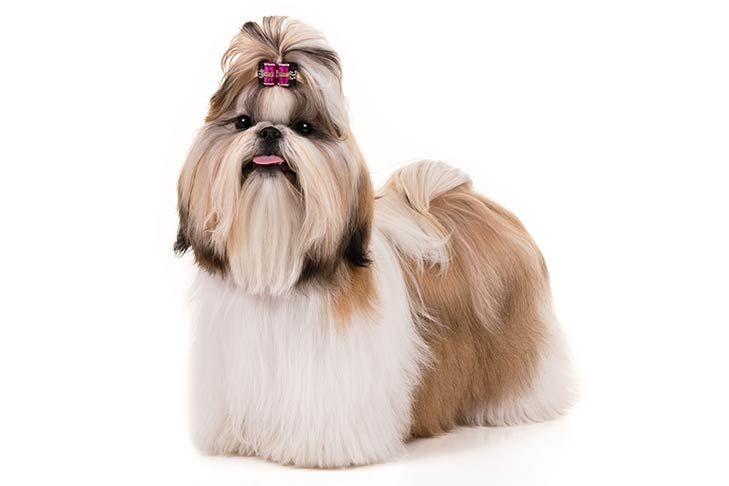 Shih Tzu Dog Breed Information With Images Dog Grooming