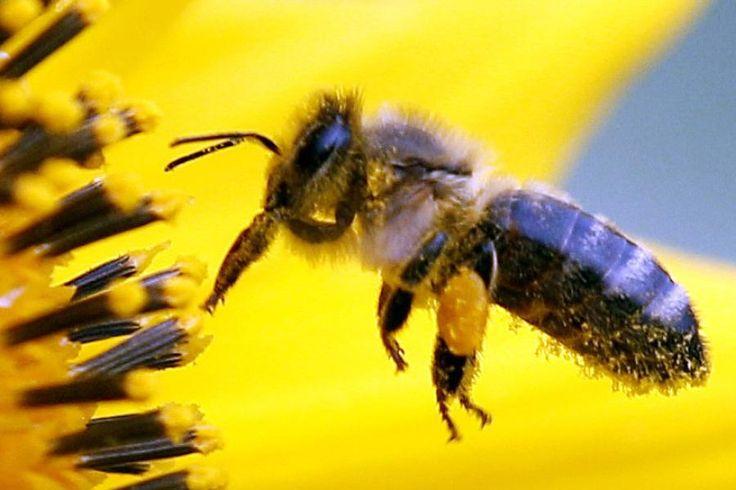 Nach Rindern und Schweinen sind Bienen die bedeutendsten Nutztiere des Menschen. Ihre Kommunikationsleistung ist erstaunlich. Sie übermitteln Informationen über die Lage von Futterquellen digital.