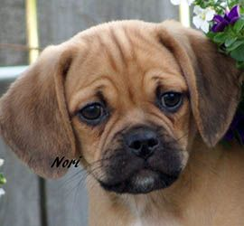Puggle Puppies for Sale - Legacy Kennels