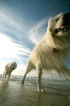 Beach fun: At The Beaches, Dogs Fun, Beaches Fun, Pet Photography, Great Shots, Sea Dogs, Wet Dogs, Happy Dogs, White Dogs