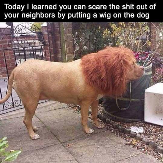 Pit bull aka lion