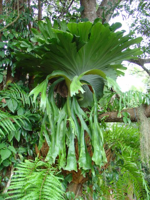 The Staghorn fern ~ Another gorgeous Australian rainforest inhabitant for the shady garden... seednation.com