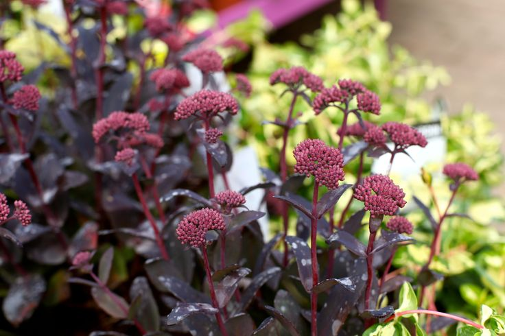 Sedum 'Jose aubertine' - Strong upright perennial flowering much earlier. Oval leaves are deep aubergine colour and flowers are deep dusky pink. Flowers are produced from July onwards. H 60cm. Full sun/partial shade in well drained soil. Cut back after flowering to maintain shape. www.thepavilion.ie