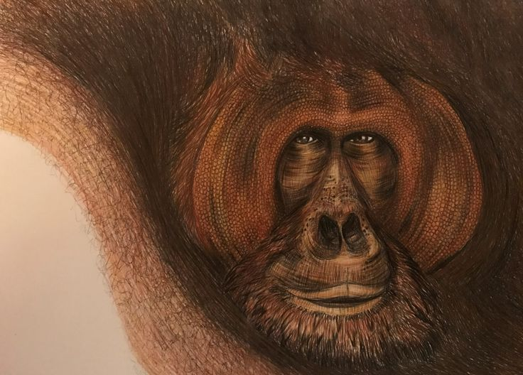 Orangutan By Jo Warren