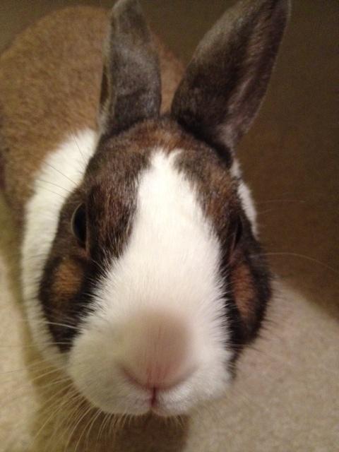 smallest bunny in the world 2014 wwwpixsharkcom