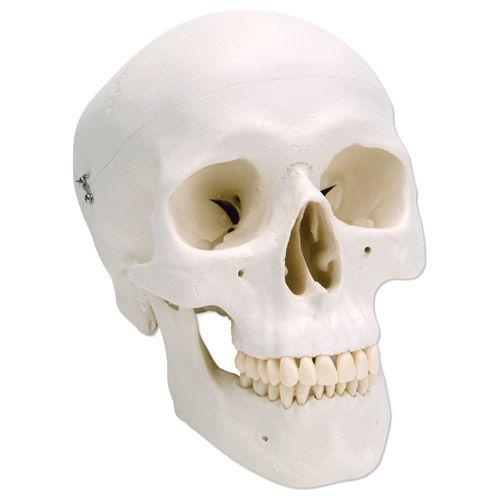 Classic Human Skull Model A20 (3 Part)
