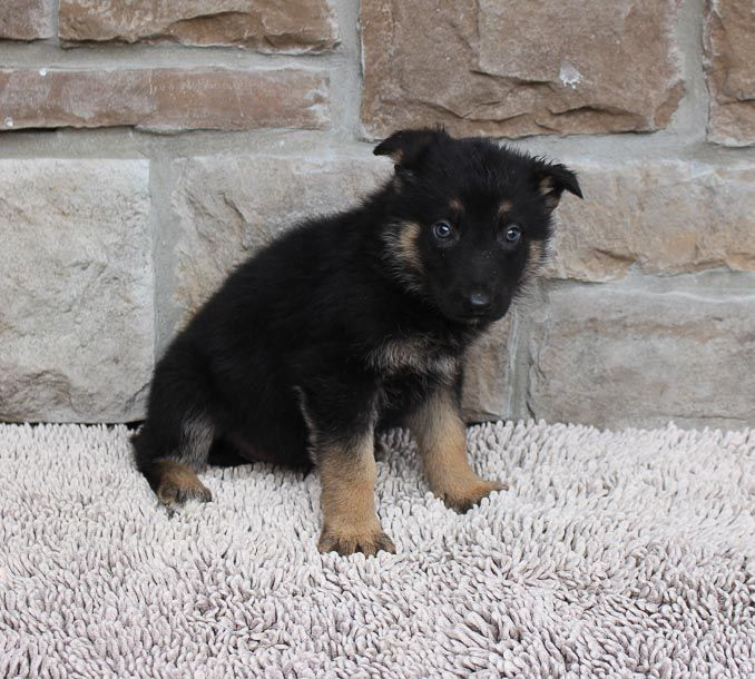 Pin On German Shepherd Puppies Dogs