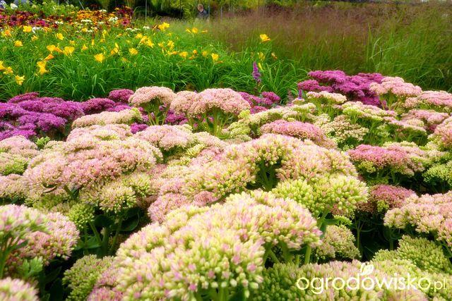 Rośliny na suche i słoneczne stanowiska - Forum ogrodnicze - Ogrodowisko
