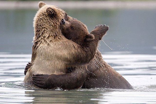 💑#bearsfamily #Bär #TeddyBear #misiu #テデ #ตุ๊กตาหมี #곰 #クマ #медведь  #медвежата #babybear #babybears #icebear #polar #grisleybear #familyphoto #chịu #bære #menanggung #soportar #ilovebears #kamchatkabears #kamchatkalife #kamchatka #медвежонок #kamchatkablog