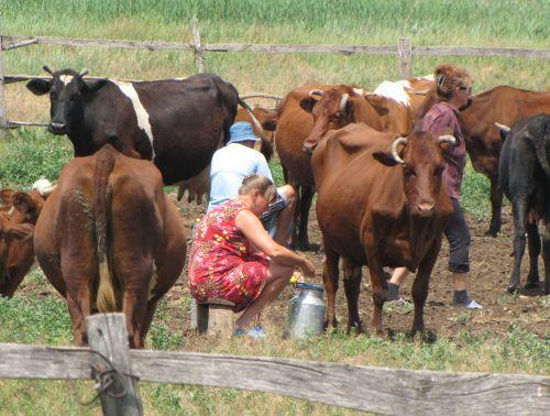 Milking cows in Ukraine