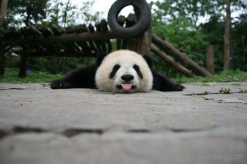 Flat Out Panda